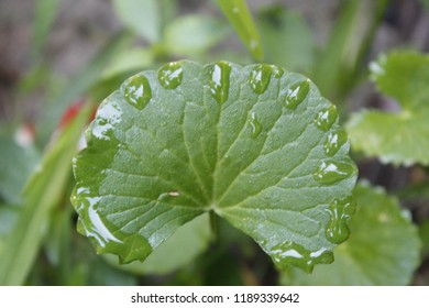 Beautiful green leaf of Centella asiatica ( centella, Asiatic pennywort or Gotu kola)and morning dew drops on edge of leaf closeup is a herbaceous.leaf is borne on pericladial petioles, medicinal herb