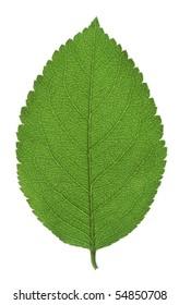 Beautiful green leaf on gleam