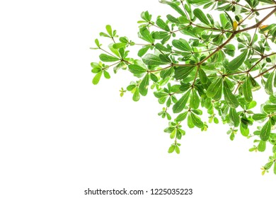 Beautiful green leaf on white background.  Ivory coast almond tree.