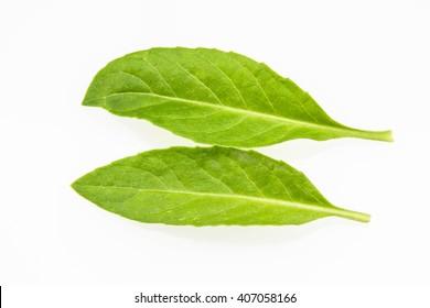Beautiful green leaf on white background,tropical leaf,Thai herb