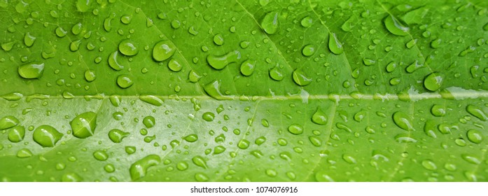Beautiful green leaf texture with drops of water.Panorama banner free space for text.Nature ,Background texture concept.