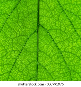 beautiful green leaf with veins