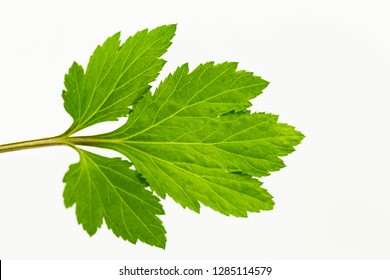 beautiful green leaf of white mugwort or  artemisia lactiflora Wall  on the white background