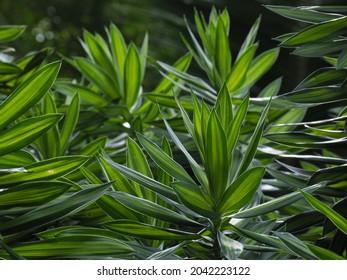Beautiful green leaves song of Jamaica tree. Dracaena reflexa Decne.Lam. on natural background