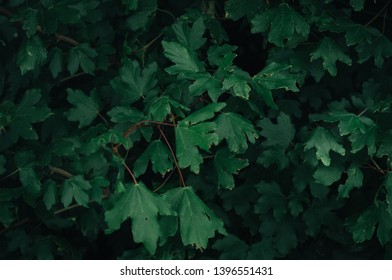 Beautiful green leaves wallpaper, dark green tone, background relaxing theme of nature and environment, foliage ivy and floreal oak tree composition