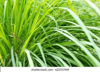 Beautiful Green Lemon grass plant leaf background.