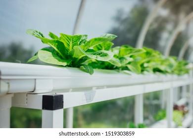 The beautiful green lettuce grown in organic form