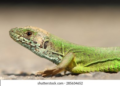 beautiful green lizard portrait ( Lacerta viridis )
