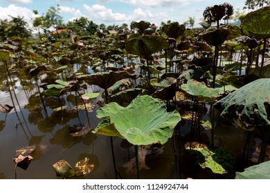 Beautiful Green Lotus in lotus pond