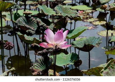 Beautiful Green Lotus  tree in lotus pond
