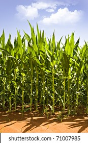 Beautiful green maize field