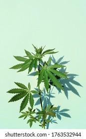 Schöne grüne Marihuana-Pflanze, Hanfblätter auf blauem Hintergrund. Cannabis-Hintergrund, Draufsicht, Nahaufnahme