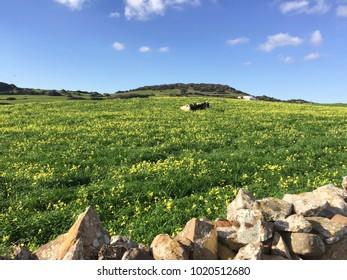 Beautiful green meadows with yellow flowers in Menorca, Balearic Islands