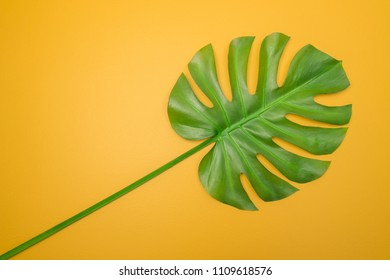 Beautiful green Monstera leaf on bright yellow background. Tropical summer theme.