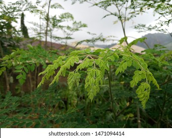 Beautiful green moringa plant in the morning