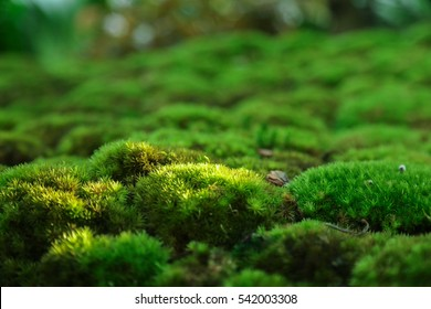 Beautiful green moss grown cover the stones in the rain forrest.