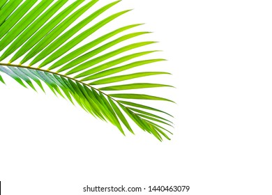 Beautiful green palm leaf isolated on white background with clipping path for design elements, tropical leaf