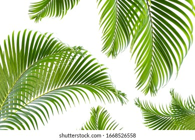 Beautiful green palm leaf isolated on white background with for design elements, tropical leaf, summer background