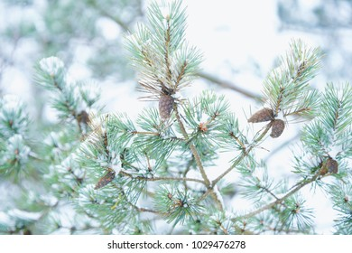 Beautiful green pine branches with cones in winter