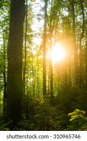 Beautiful green pine trees on Carpathian mountains in Ukraine. the sun shining through the tree trunks