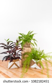 Beautiful green plants in a room with white wall and wooden floor. Boston fern, Asparagus fern and Croton plant. Space for text on the wall.