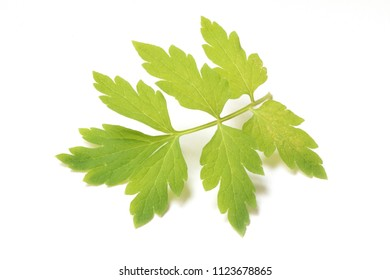 Beautiful Green Poppy Leaves on White Background