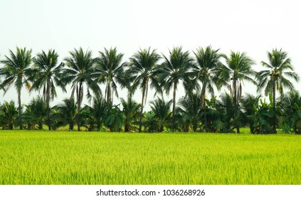 Beautiful green rice fields in Thailand, India. coconut trees, tropical landscape, background