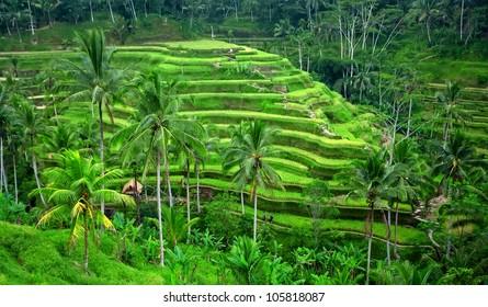 Beautiful green rice paddy field. Rice terrace.