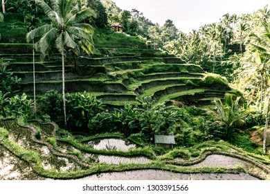 Beautiful green rice terraces with palm trees and sun rays shining through the trees early morning in ubud, bali, indonesia with a young rice field in the foreground