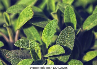 Beautiful green sage in close up
