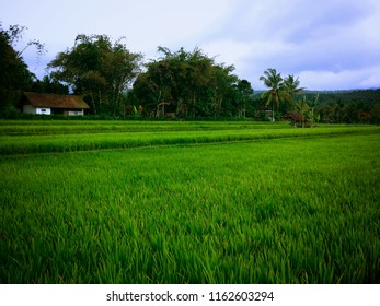 Beautiful Green Scenery Of The Rice Fields At Kayuputih Village, Banjar, North Bali, Indonesia