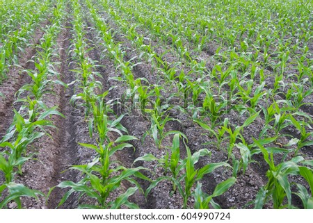 Beautiful Green Sprouts of Corn/ Maize in the Field in Rural Village of Bangladesh