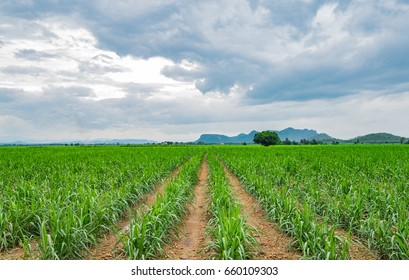 The beautiful green sugar canes fields  in the Kanchanaburi province Thailand, Countryside agricultural concept.