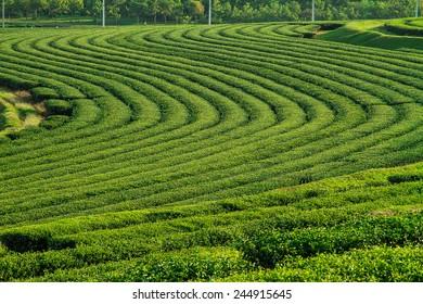 beautiful green tea plantation background