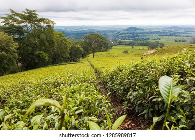 Beautiful green tea plantations of Mulanje in Malawi.