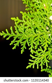 Beautiful green Thuja tree close up, macro shot, selective focus. Thuja twig, Thuja occidentalis is an evergreen coniferous tree.