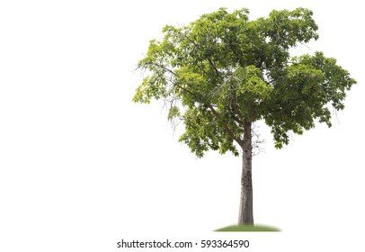Beautiful  green tree on white background.clipping path