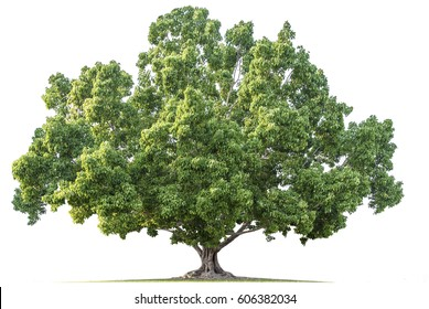 Beautiful  green tree on white background.Bodhi Tree in thailand