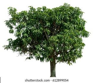 Beautiful  green tree on white background.