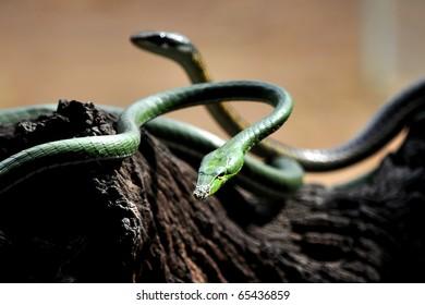 Beautiful green tree snake.