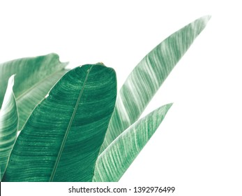 Beautiful of green tropical leaves isolated white background