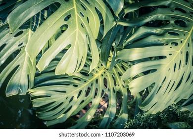 Beautiful green tropical leaves Monstera