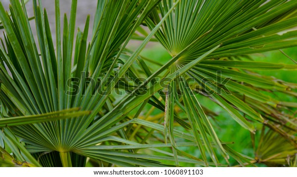 beautiful green tropical plant  palm close-up