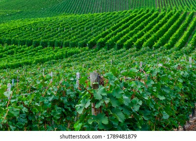Beautiful green vineyard, autumn landscape before harvest
