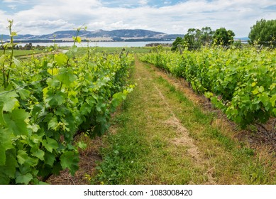 Beautiful green vineyard in Tasmania,Australia