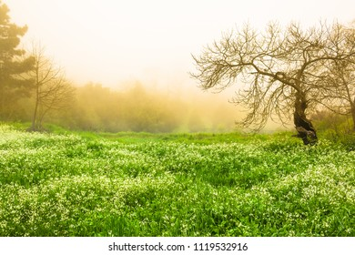 Beautiful green, white flowering upland meadow with trees at morning dew at Orotava valley, Tenerife (copy space)