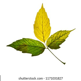 beautiful green yellow autumn leaf isolated on white background