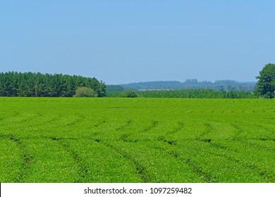 Beautiful green Yerba Mate tea plantation field in province Misiones Argentina, South America