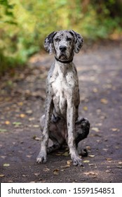 A beautiful grey black and white great dane 5 month old puppy dog
