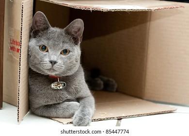 Beautiful grey cat in a box